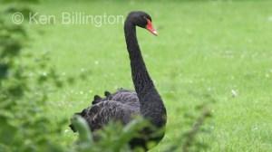 Black Swan (Cygnus atratus) (1).jpg