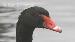 Black Swan (Cygnus atratus) (5).jpg