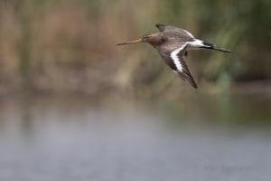 Black-tailed Godwit Limosa Limosa