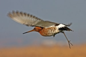 Black-tailed Godwit taking flight
