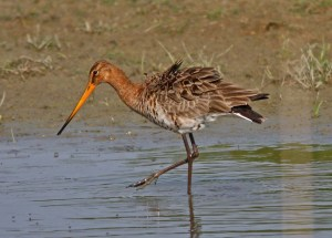 Black-tailed Godwit, Limosa limosa (NT)