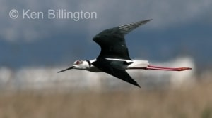 Black-Winged Stilt (Himantopus himantopus) (15)