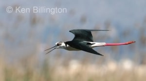 Black-Winged Stilt (Himantopus himantopus) (16)