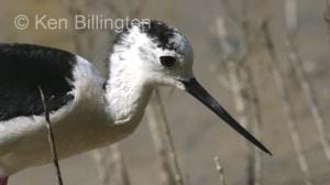 Black-Winged Stilt (Himantopus himantopus) (17)