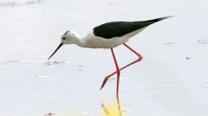 Black-Winged Stilt (Himantopus himantopus) (4)