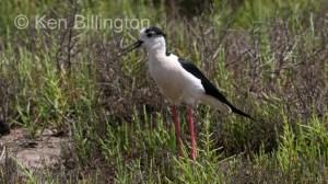 Black-Winged Stilt (Himantopus himantopus) (6)