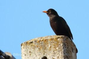 Common Blackbird (Turdus merula) (20)