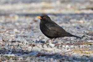 Blackbird Turdus merula