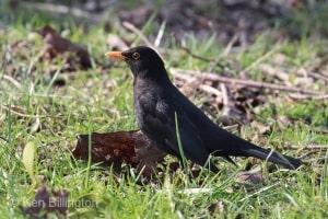 Common Blackbird (Turdus merula) (19)