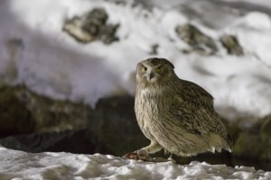 Blakiston's Fish Owl (Bubo blakistoni) with Trout