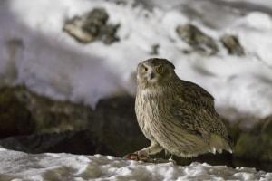 Blakiston's Fish Owl Bubo blakistoni