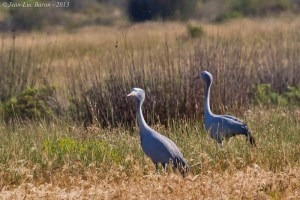 Blue Crane Anthropoides paradises
