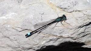 Blue-tailed Damselfly (Ischnura elegans) (1).jpg