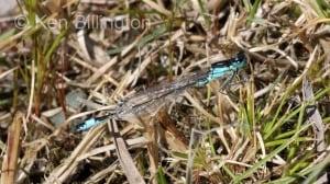 Blue-tailed Damselfly (Ischnura elegans) (4).jpg