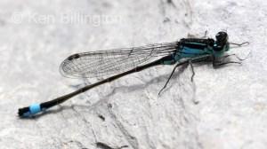 Blue-tailed Damselfly (Ischnura elegans) (6).jpg