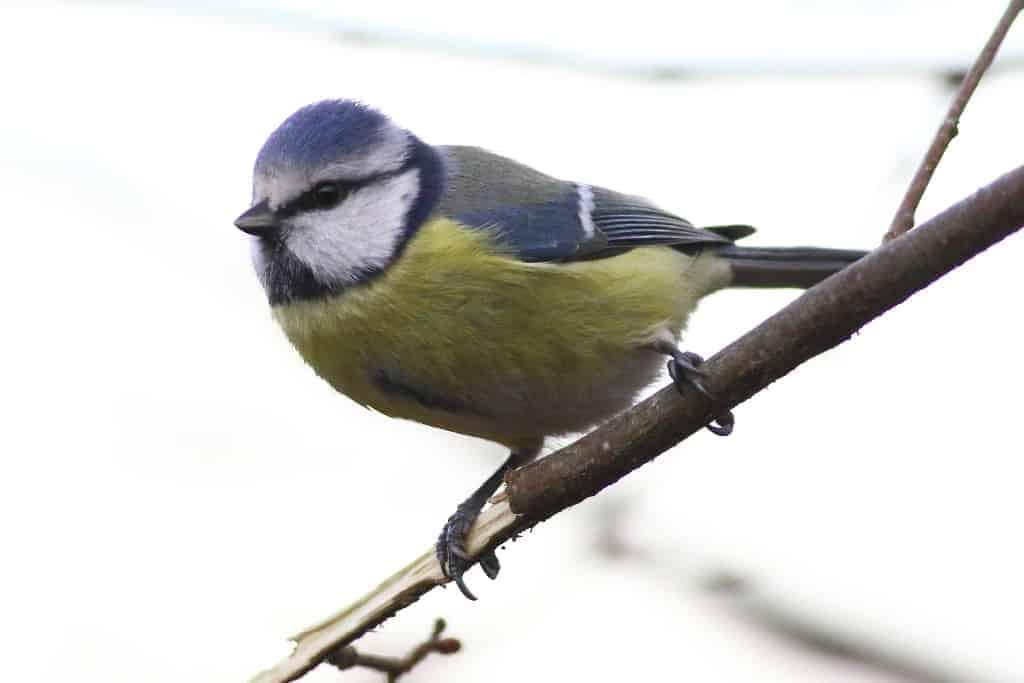 Blue Tit Parus Caeruleus  Focusing On Wildlife-6568