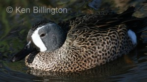 Blue-winged Teal (Anas discors) (01).jpg
