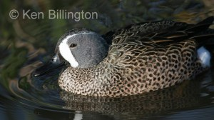Blue-winged Teal (Anas discors) (2).jpg