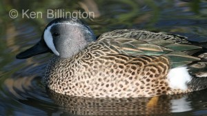 Blue-winged Teal (Anas discors) (3).jpg