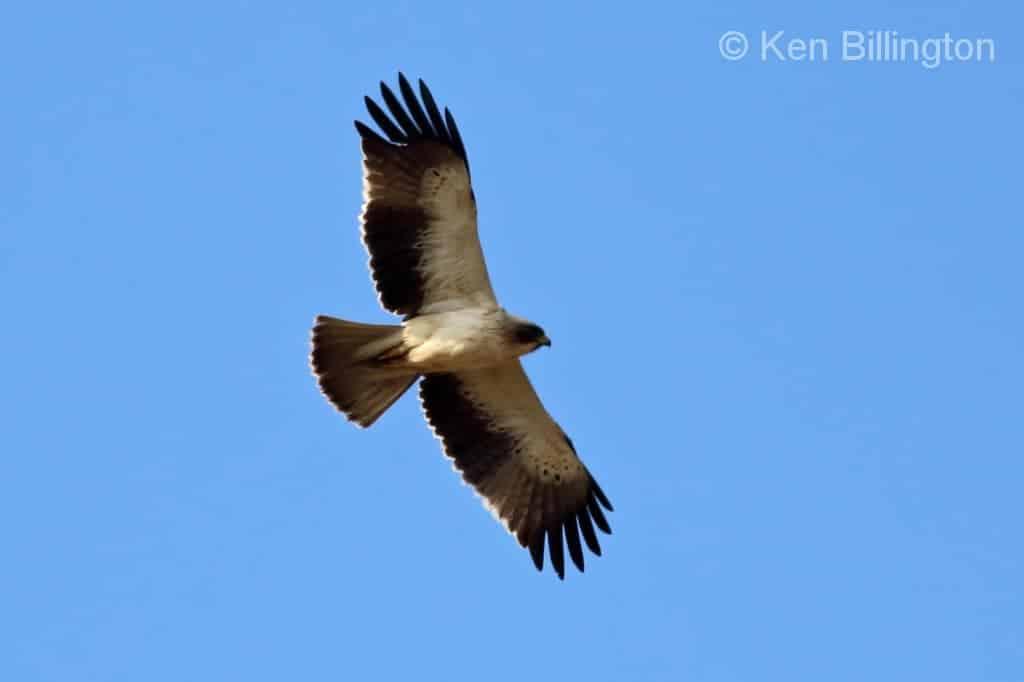 booted eagle hieraaetus pennatus focusing on wildlife