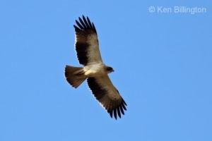 Booted Eagle (Hieraaetus pennatus) (02)