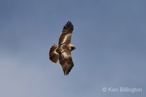 Booted Eagle (Hieraaetus pennatus) (05)