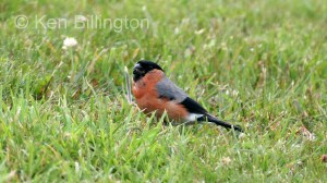 Bullfinch (Pyrrhula pyrrhula) (1)