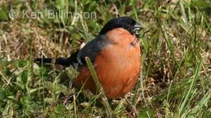 Bullfinch (Pyrrhula pyrrhula) (11)