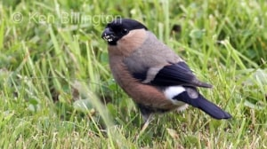 Bullfinch (Pyrrhula pyrrhula) (14)