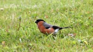 Bullfinch (Pyrrhula pyrrhula) (2)
