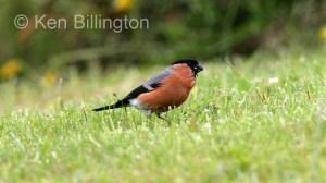 Bullfinch (Pyrrhula pyrrhula) (3)