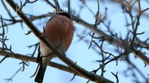 Bullfinch (Pyrrhula pyrrhula) (4)