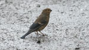 Bullfinch (Pyrrhula pyrrhula) (5)