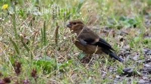 Bullfinch (Pyrrhula pyrrhula) (7)