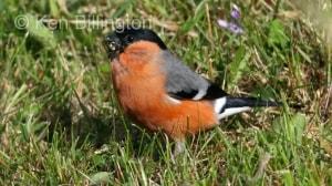 Bullfinch (Pyrrhula pyrrhula) (9)