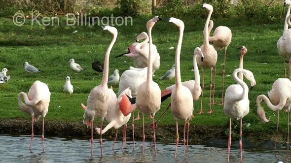 Greater Flamingo (Phoenicopterus roseus) (2)
