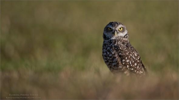 Burrowing Owl - Florida Tours