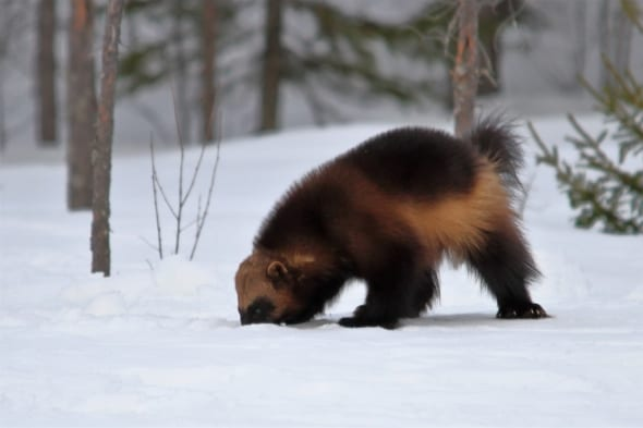 Wolverine - Ghost of the Taiga