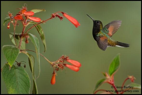 Black-bellied Hummingbird (Eupherusa nigriventris)