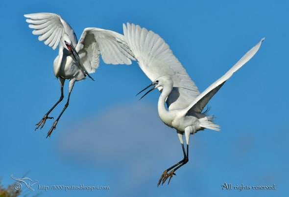 Aerial Fight - Little Egrets