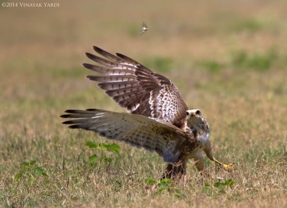 Grassland hunter poise to attack