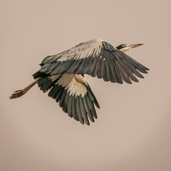 Black-headed Heron Ardea melanocephala