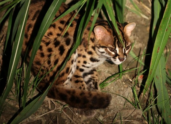 Shy Leopard Cat
