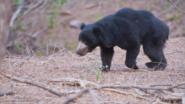 India Tours - Sloth Bear