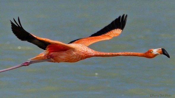 Yucatan Flamingo - in Flight