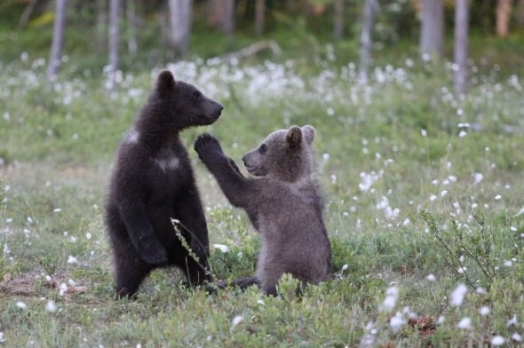 Brown Bear Cubs Playtime