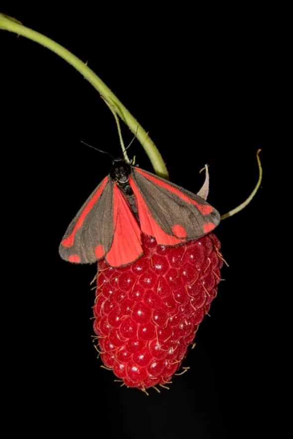 Cinnabar Moth on Raspberry