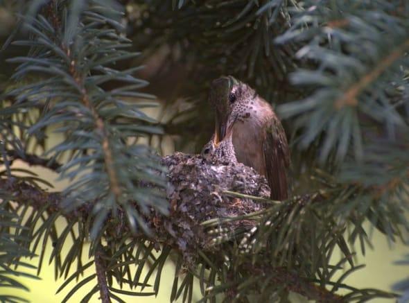 Broad Tailed Hummingbird Feeding Her Chick