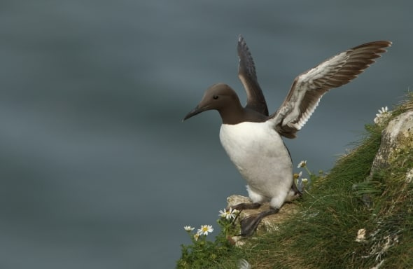 Guillemot Before Flight