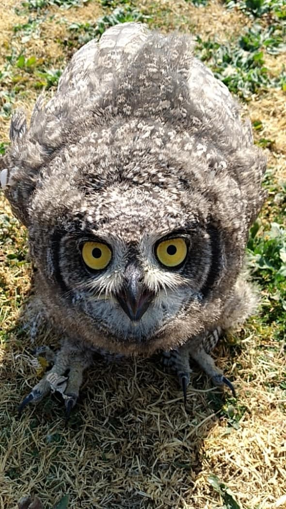 Angry Spotted Eagle Owlet
